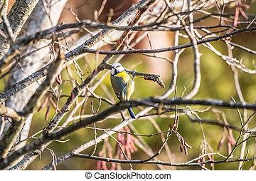 eurasian blue tit sitting on a branch