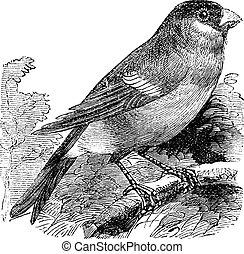 Eurasian Bullfinch or Pyrrhula pyrrhula,,bird, vintage...