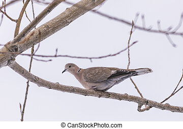 Eurasian collared dove perched in tree.