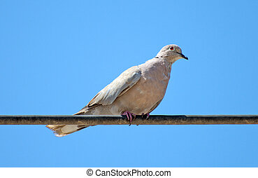Eurasian Collared Dove sitting on a wire.