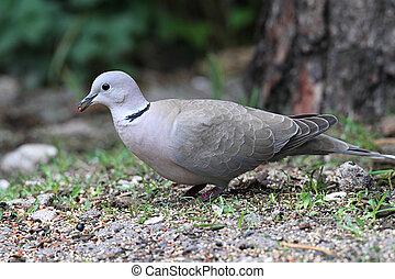 Eurasian Collared-Dove (Streptopelia decaocto) on the ground
