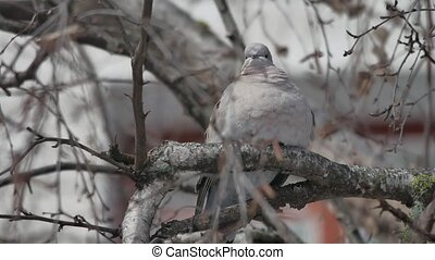 Eurasian collared dove Streptopelia decaocto the bird is...