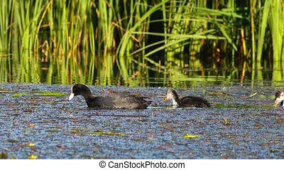 Eurasian Coot  and duckling on the lake