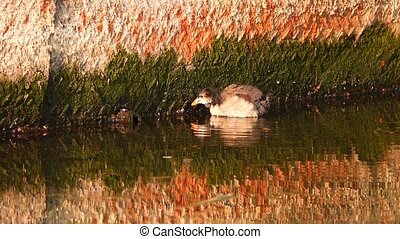 Eurasian Coot  duckling on the lake
