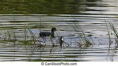 Eurasian coot in small pond on green reeds - Bird Eurasian...