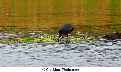 Eurasian Coot on the lake