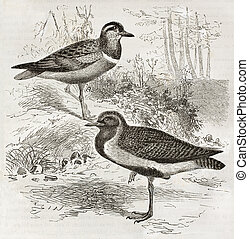 Eurasian Dotterel (Charadrius morinellus) and European Golden Plover (Pluvialis apricaria). Created by Kretschmer and Illner, published on Merveilles de la Nature, Bailliere et fils, Paris, ca. 1878