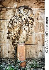 Eurasian eagle owl - Bubo bubo – bird scene