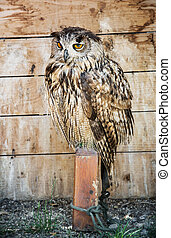 Eurasian eagle owl - Bubo bubo – bred in captivity