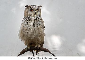 European eagle-owl - Eurasian eagle-owl (Bubo bubo) is a ...
