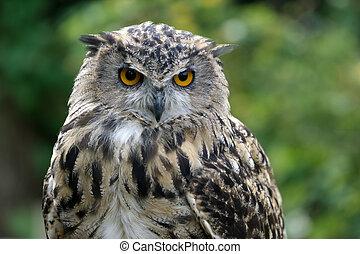 Eurasian Eagle-Owl (Bubo bubo)