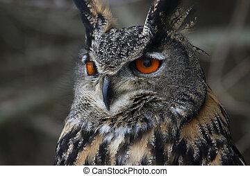 Eurasian Eagle Owl Close-Up - A Eurasian Eagle Owl (Bubo ...