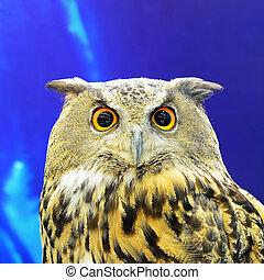 Eurasian Eagle Owl, face profile