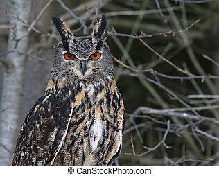 Eurasian Eagle Owl Face-to-Face - A Eurasian Eagle Owl (Bubo...