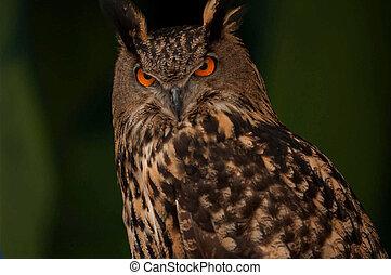 Eurasian Eagle owl is a very large, heavy owl.