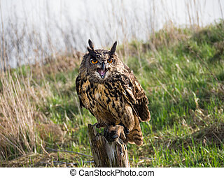 Eurasian Eagle Owl perched on a tree trunk