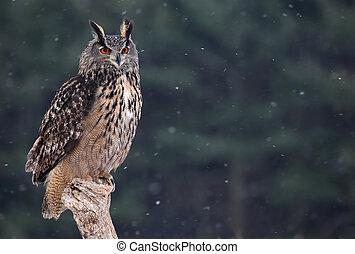 Eurasian Eagle Owl Sitting - A Eurasian Eagle Owl (Bubo bubo...