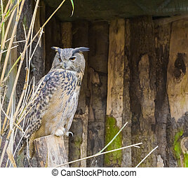 eurasian eagle owl sitting on a tree stump, a nocturnal bird of prey that is well spread over eurasia