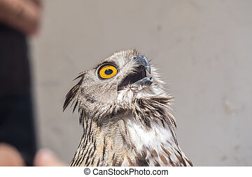 Eurasian Eagle-Owl with open beak, Bubo bubo