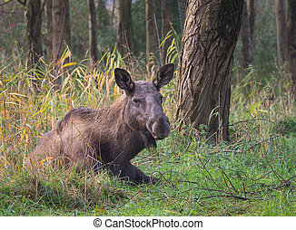 Eurasian Elk or Moose - Eurasian elk or moose is the largest...