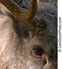 Eurasian Elk or Moose - Eurasian elk or moose is the largest...