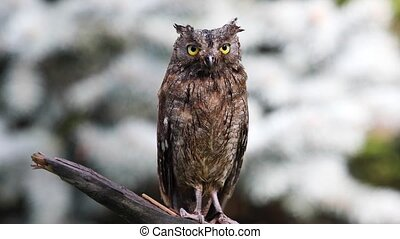 Eurasian (European) scops owl in natural forest habitat -...