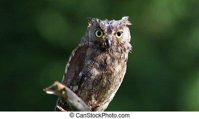 Eurasian (European) scops owl in the forest - Beautiful...