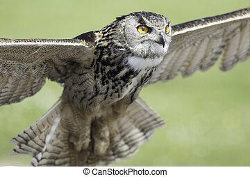 Eurasian - Eurpopean - Eagle owl - Eurasian eagle owl (bubo ...