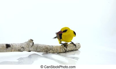 Eurasian Golden Oriole (Oriolus oriolus) and worm isolated...
