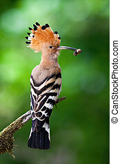 Eurasian hoopoe sitting on branch in summer from back view.