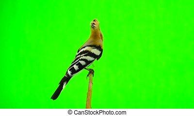 Eurasian Hoopoe (Upupa epops) isolated on a green background...