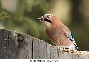 eurasian jay at a seed feeder