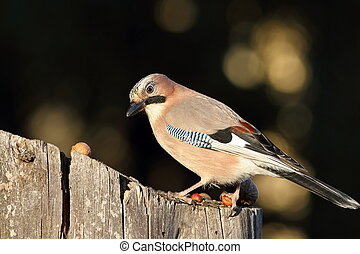 eurasian jay at bird feeder