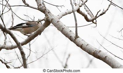Eurasian Jay dines