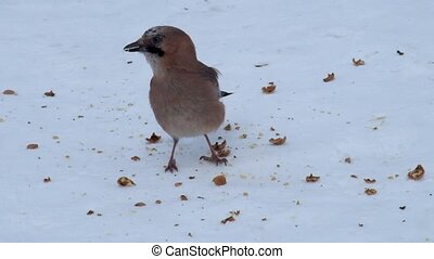 Eurasian jay eats the pulp from the crushed walnut lying on...