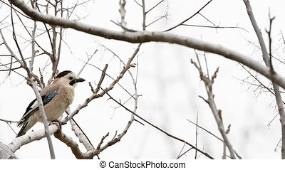 Eurasian jay on a branch