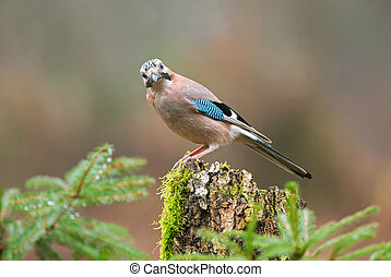Eurasian jay on a tree stump