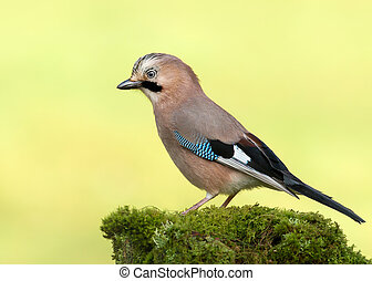 Eurasian Jay perched on a mossy tree