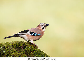 Eurasian Jay perched on a mossy tree trunk