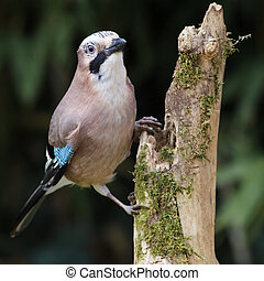 Eurasian Jay perched on a stump