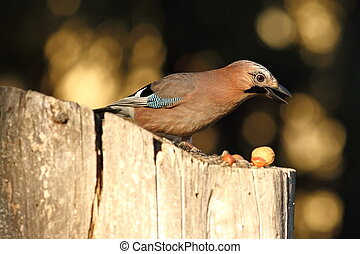 eurasian jay searching food on birdfeeder - eurasian jay (...