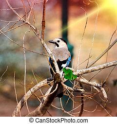 Eurasian jay sitting on a branch