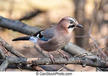 Eurasian jay sitting on the tree in the park