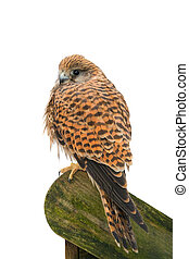 Eurasian Kestrel ( Falco tinnunculus) isolated on a white background