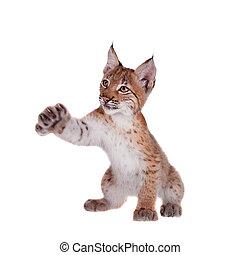 Eurasian Lynx cub on white - Eurasian bobcat cub, lynx lynx,...