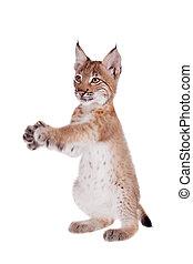 Eurasian Lynx cub on white - Eurasian bobcat cub, lynx lynx...