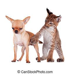 Eurasian Lynx cub with chiahuahua dog - Eurasian Lynx cub ...