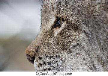 Eurasian Lynx Eye - a closeup of a eurasian lynx eye, mouth ...