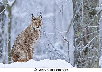 Eurasian lynx in Snow - A eurasian lynx in winter
