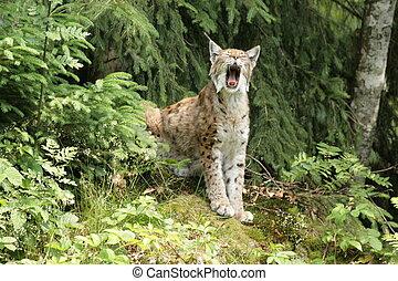 eurasian lynx in the bavarian forest